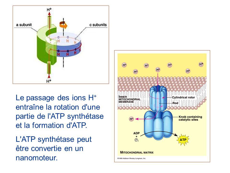 Le passage des ions H + entraîne la rotation d'une partie de l'ATP synthétase et la formation d'ATP. L'ATP synthétase peut être convertie en un nanomo