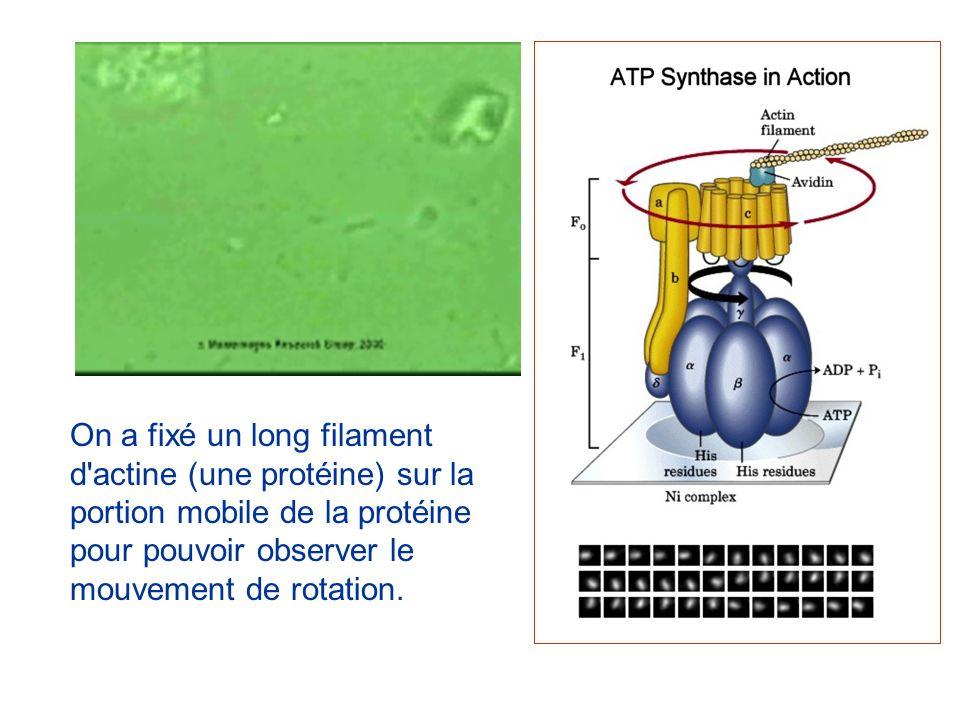 On a fixé un long filament d'actine (une protéine) sur la portion mobile de la protéine pour pouvoir observer le mouvement de rotation.