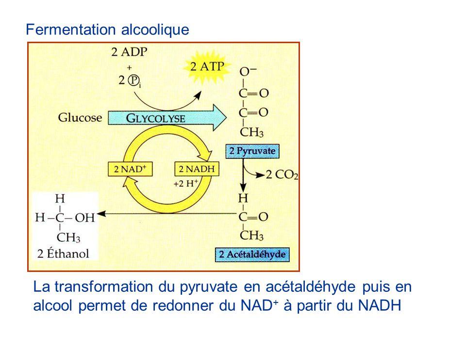 Fermentation lactique Le NAD+ est recyclé par la transformation du pyruvate en lactate (acide lactique) Le lactate produit peut être converti dans le foie en pyruvate qui peut ensuite être respiré.