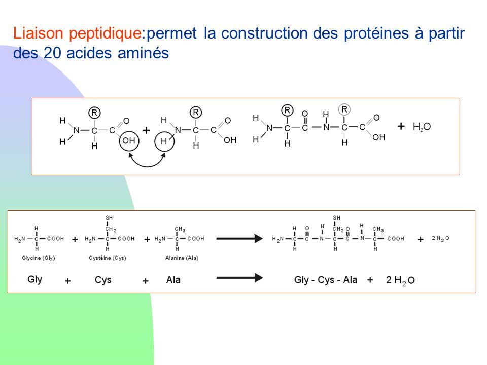 Liaison peptidique:permet la construction des protéines à partir des 20 acides aminés