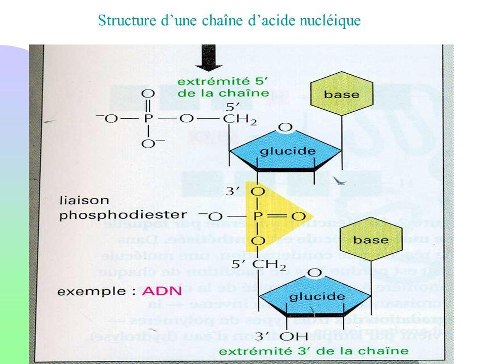 Structure dune chaîne dacide nucléique