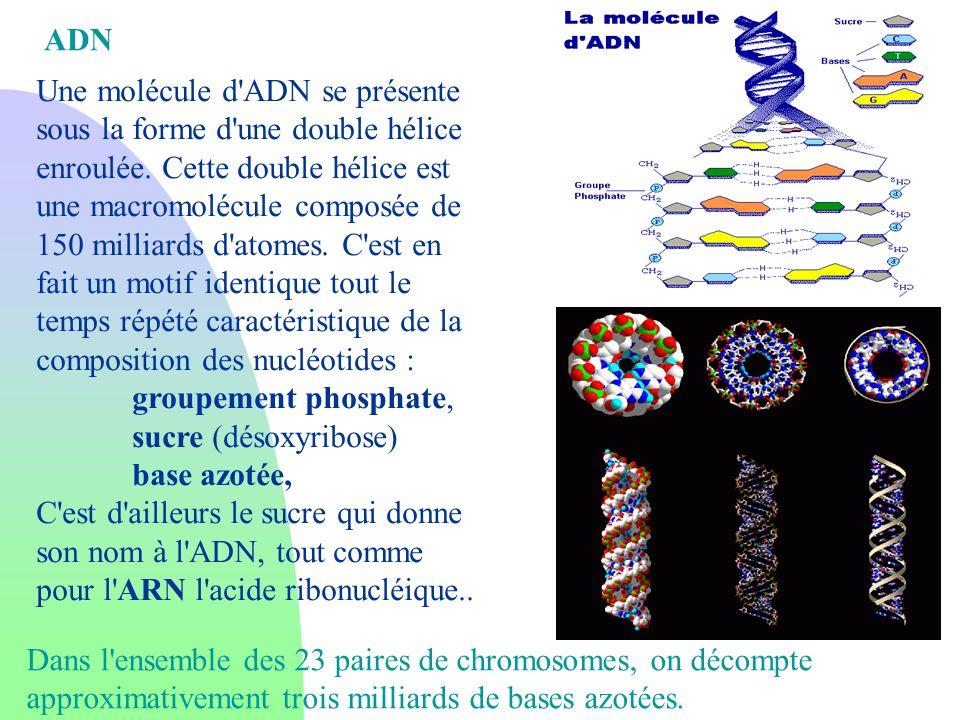 Une molécule d'ADN se présente sous la forme d'une double hélice enroulée. Cette double hélice est une macromolécule composée de 150 milliards d'atome