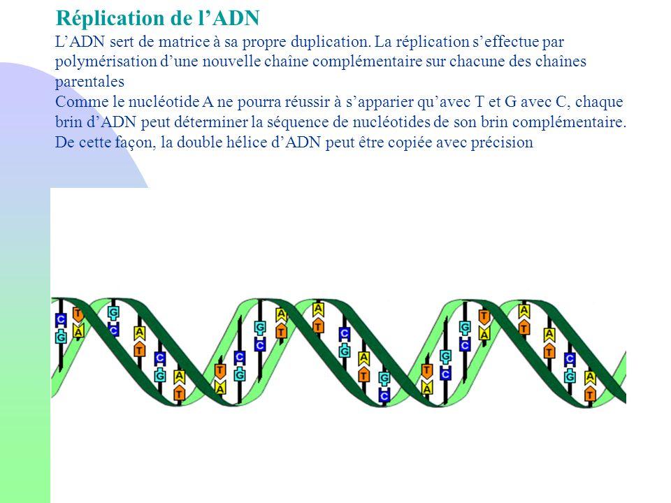 Réplication de lADN LADN sert de matrice à sa propre duplication. La réplication seffectue par polymérisation dune nouvelle chaîne complémentaire sur