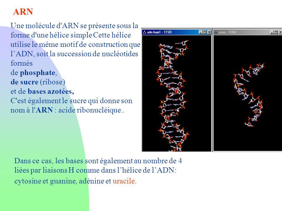 Une molécule d'ARN se présente sous la forme d'une hélice simple Cette hélice utilise le même motif de construction que lADN, soit la succession de nu