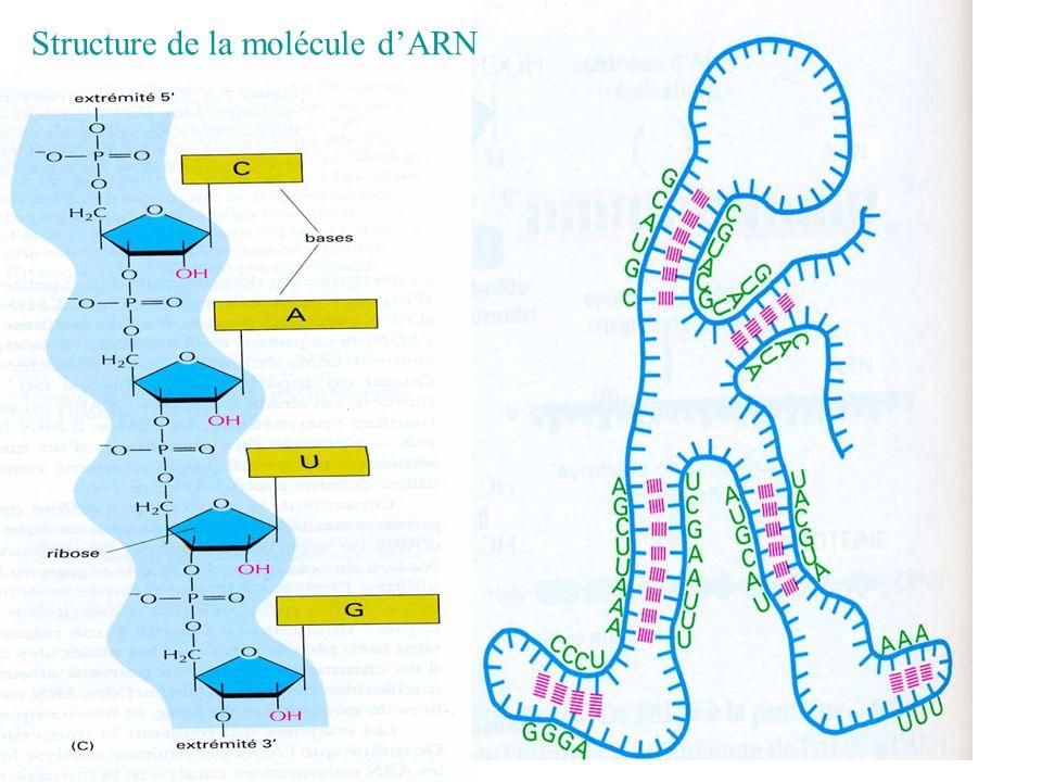 Structure de la molécule dARN