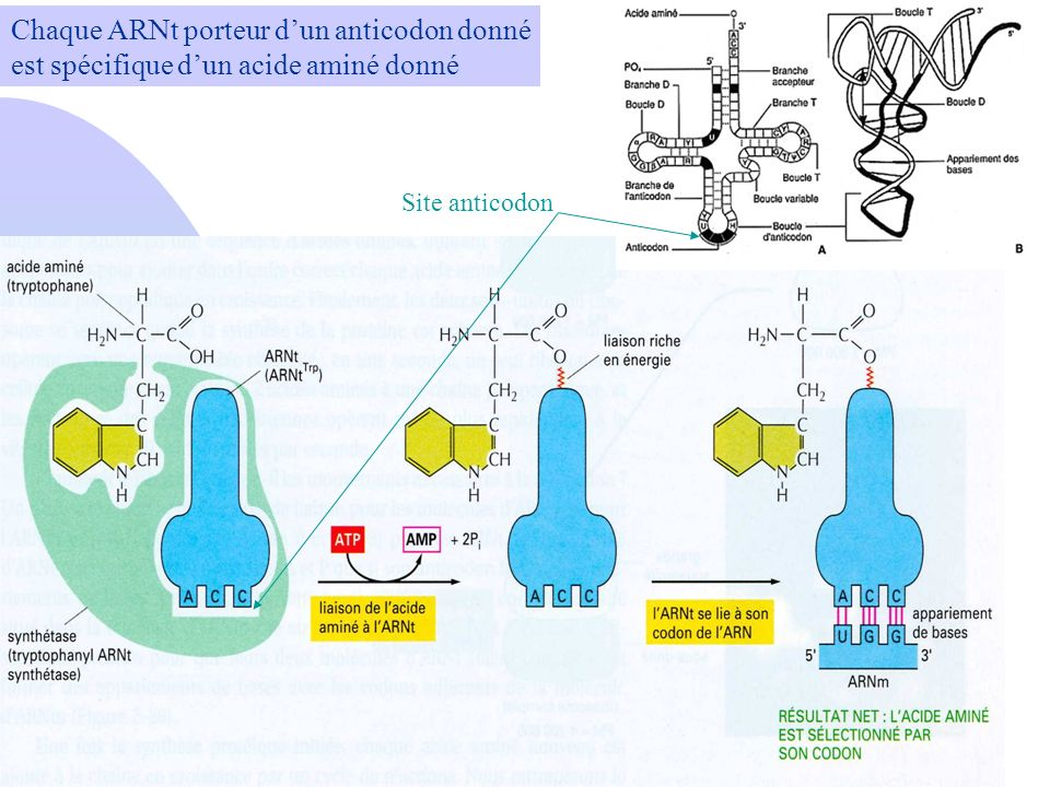 Chaque ARNt porteur dun anticodon donné est spécifique dun acide aminé donné Site anticodon