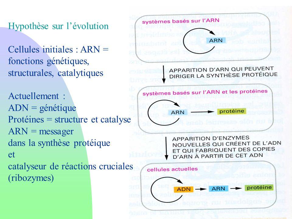Hypothèse sur lévolution Cellules initiales : ARN = fonctions génétiques, structurales, catalytiques Actuellement : ADN = génétique Protéines = struct
