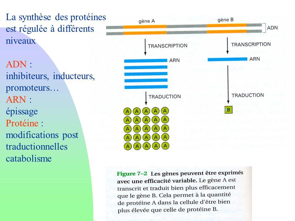 La synthèse des protéines est régulée à différents niveaux ADN : inhibiteurs, inducteurs, promoteurs… ARN : épissage Protéine : modifications post tra