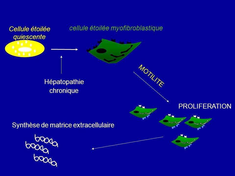 Cellule étoilée quiescente cellule étoilée myofibroblastique PROLIFERATION MOTILITE Synthèse de matrice extracellulaire Hépatopathie chronique