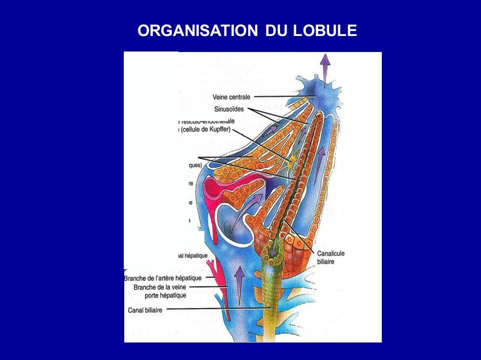 ORGANISATION DU LOBULE