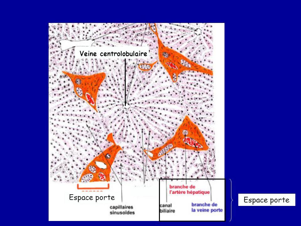 Espace porte Veine centrolobulaire Espace porte