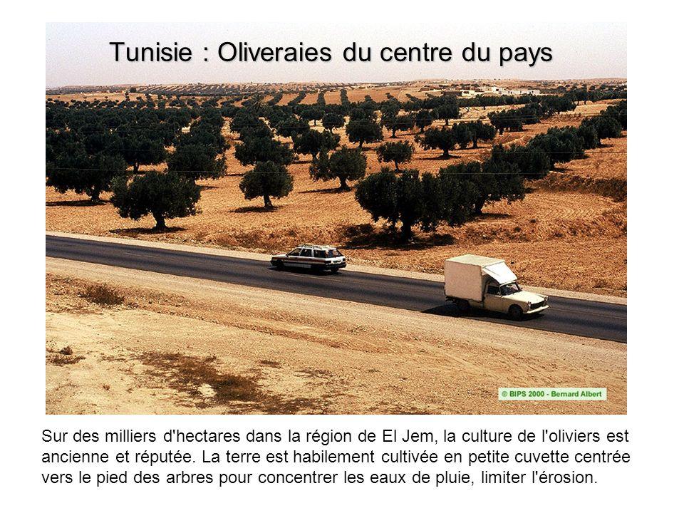 Sur des milliers d'hectares dans la région de El Jem, la culture de l'oliviers est ancienne et réputée. La terre est habilement cultivée en petite cuv