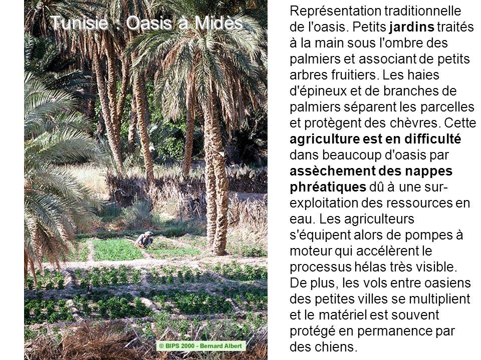 Tunisie : Oasis à Midès Représentation traditionnelle de l'oasis. Petits jardins traités à la main sous l'ombre des palmiers et associant de petits ar