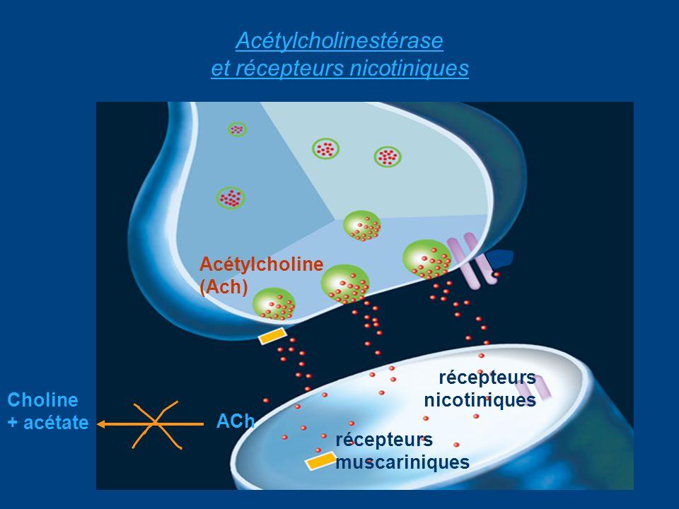 Acétylcholinestérase et récepteurs nicotiniques Choline + acétate ACh Acétylcholine (Ach) récepteurs muscariniques récepteurs nicotiniques