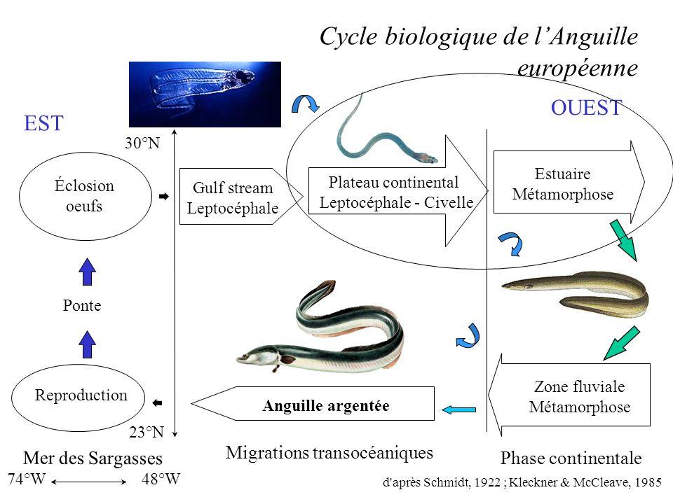 Biologie et comportement des flux de civelles dans lestuaire de lAdour Laboratoire Ifremer - Saint-Pée-sur-Nivelle Laboratoire dIchtyoécologie – Perpi