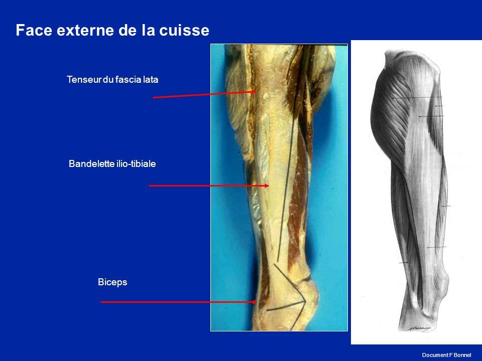 Coupe sagittale du genou montrant lépaisseur considérable des cartilages de la rotule et de la trochlée Document F Bonnel