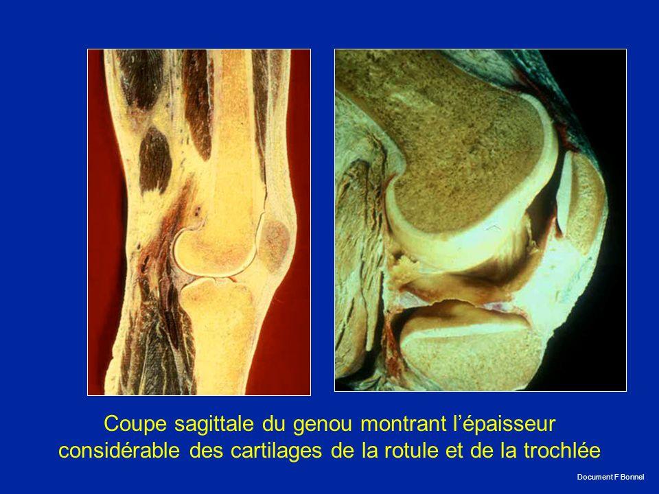 Le contrôle de la stabilité antérieure du genou est dû au LCA qui est le premier ligament à se rompre lors des sollicitations brutales postéro-antérieures.
