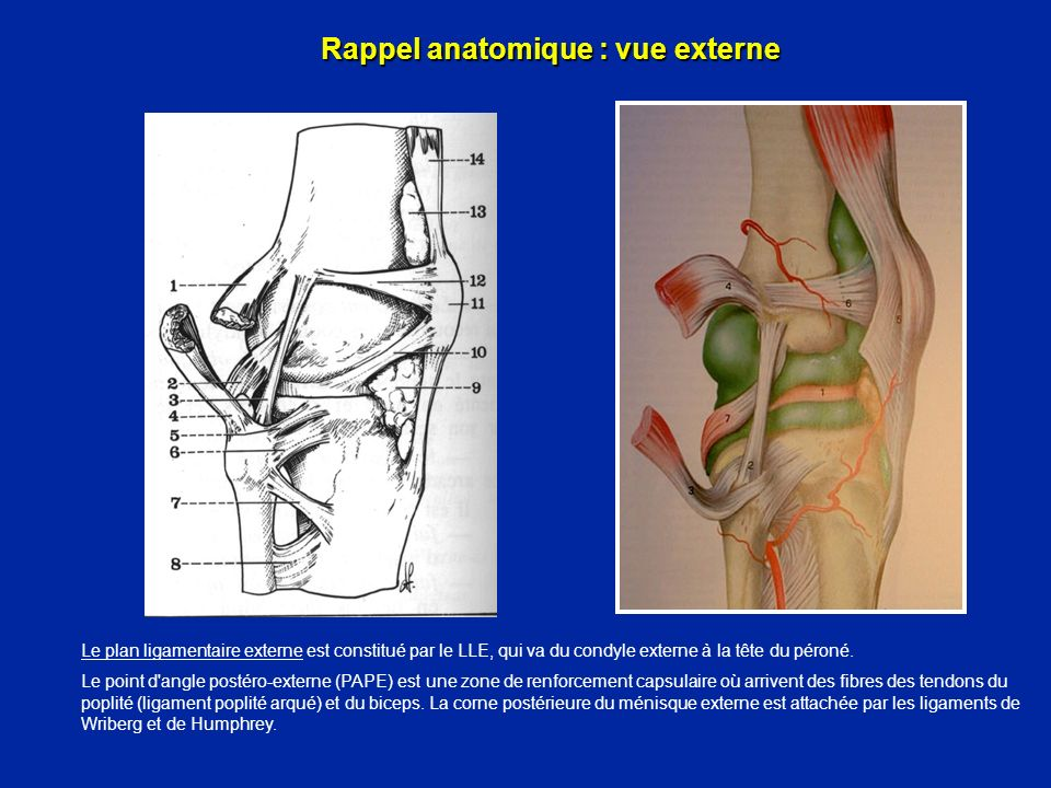 Les stabilisateurs externes Biceps Fascia lata et bandelette ilio-tibiale La bandelette ilio-tibiale de Maissiat s insère sur le tubercule de Gerdy et elle renforce la capsule antérieure et externe