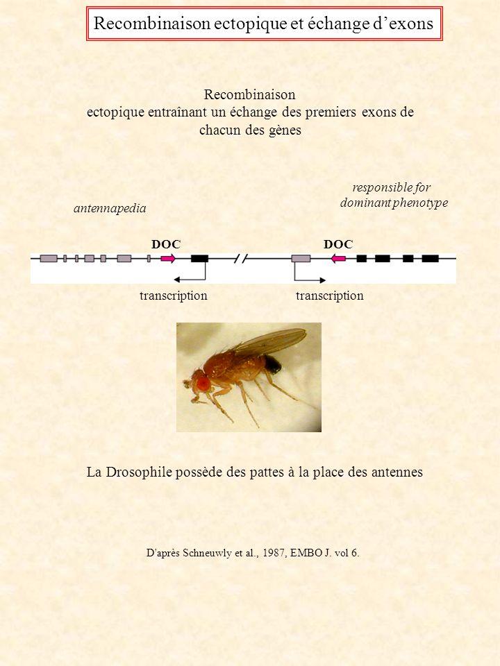 antennapedia responsible for dominant phenotype DOC transcription Recombinaison ectopique entraînant un échange des premiers exons de chacun des gènes