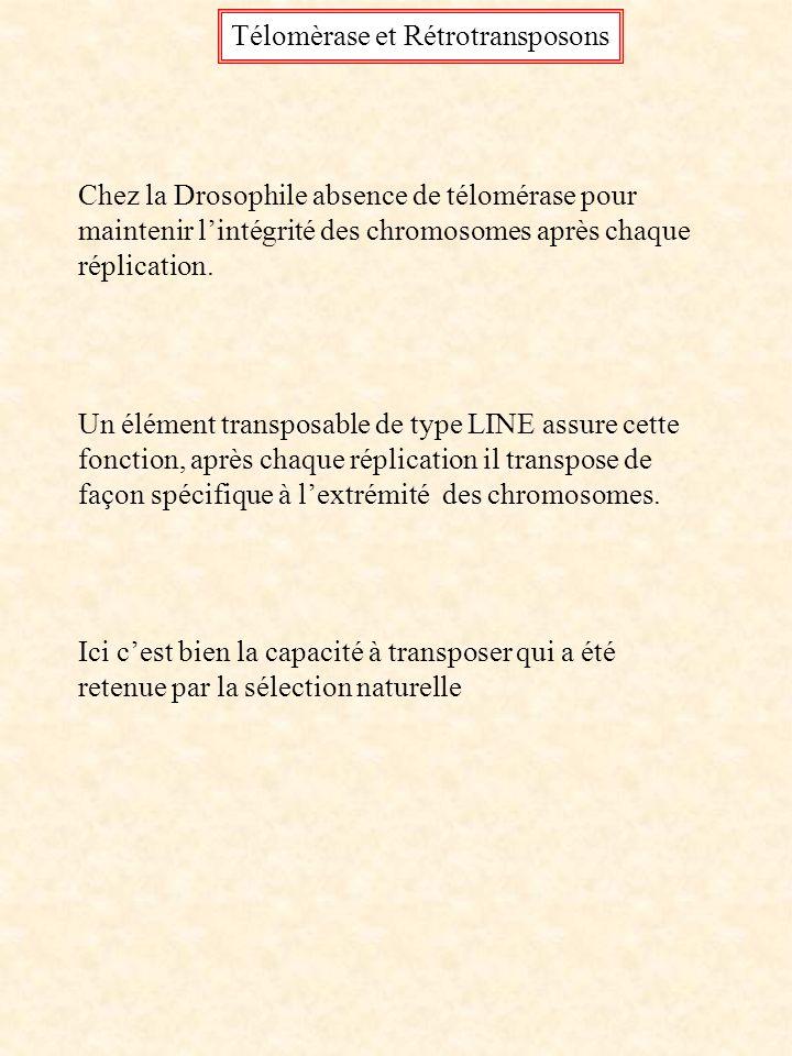 Télomèrase et Rétrotransposons Chez la Drosophile absence de télomérase pour maintenir lintégrité des chromosomes après chaque réplication. Un élément