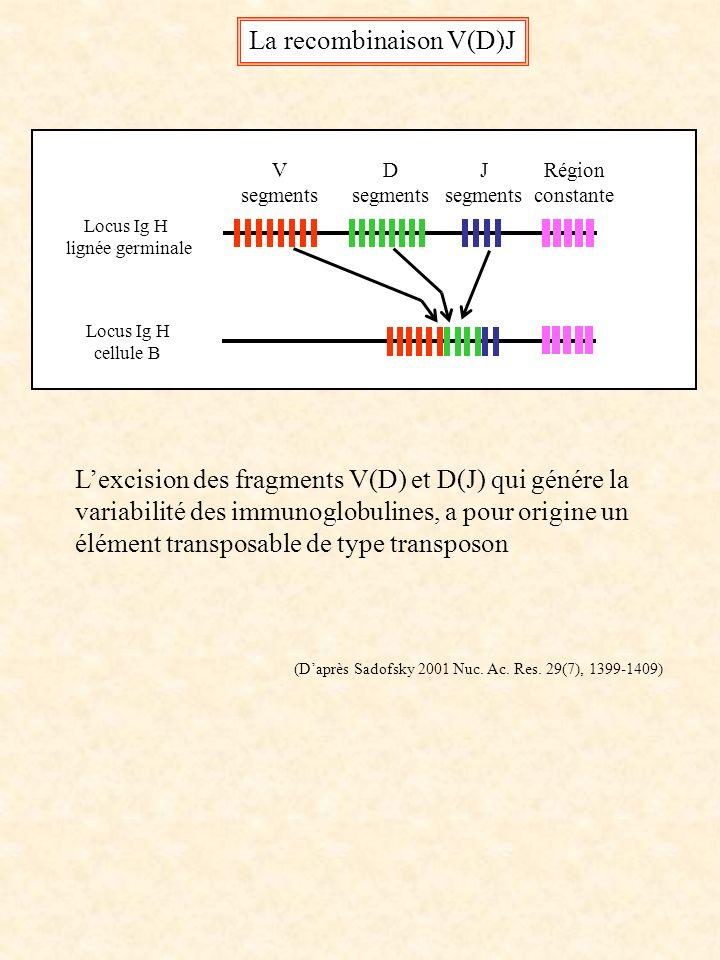 V segments D segments J segments Région constante La recombinaison V(D)J Locus Ig H lignée germinale Locus Ig H cellule B (Daprès Sadofsky 2001 Nuc. A