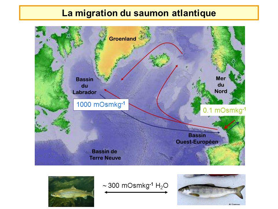 La migration du saumon atlantique 0.1 mOsmkg -1 1000 mOsmkg -1 ~ 300 mOsmkg -1 H 2 O