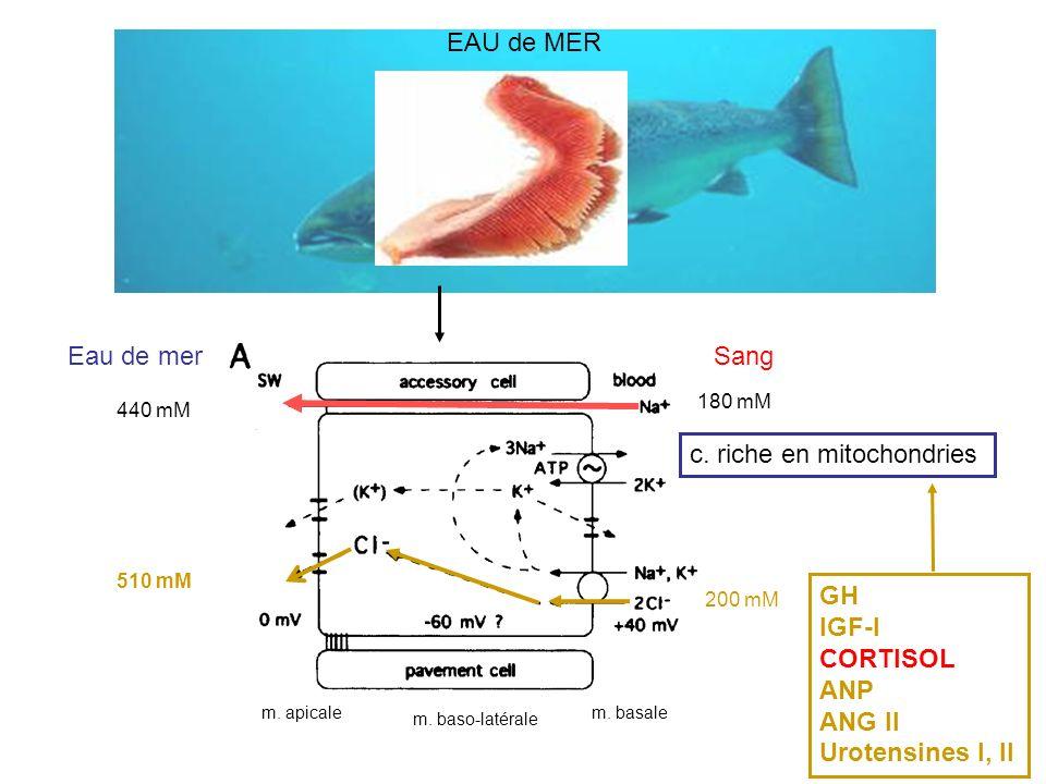 EAU de MER GH IGF-I CORTISOL ANP ANG II Urotensines I, II m. basalem. apicale m. baso-latérale Eau de merSang c. riche en mitochondries 510 mM 440 mM