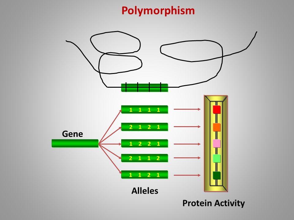 1 1 2 1 1 2 2 1 2 1 1 2 1 1 2 1 Gene Alleles Protein Activity Polymorphism