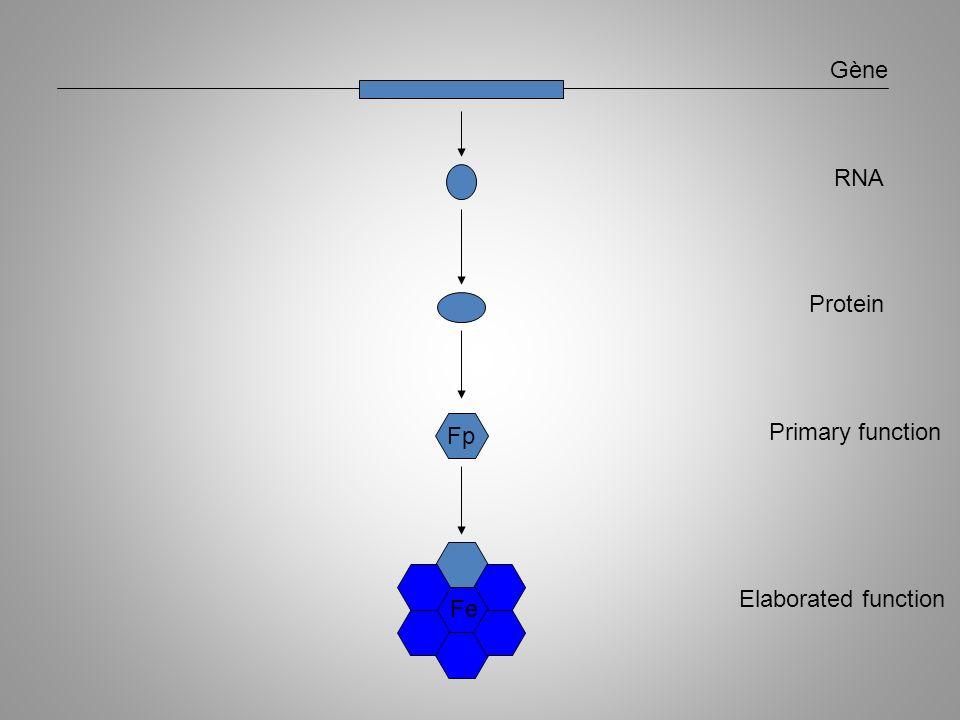 Fp ARN Protéines Primary function Fe RNA Protein Gène Elaborated function