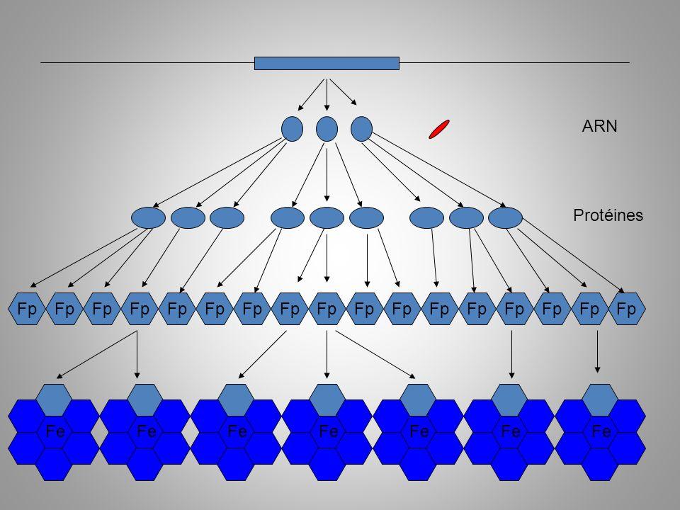 Fp ARN Protéines Fonction primaire Fe Fp Fe