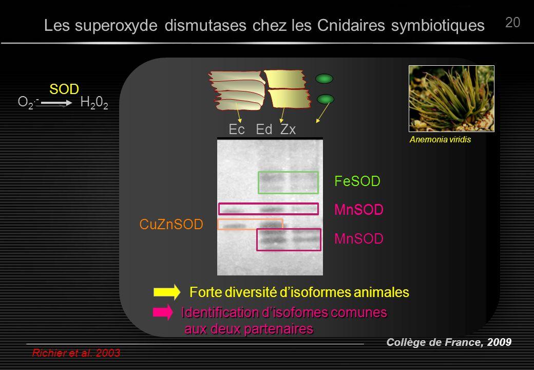Collège de France, 2009 20 Richier et al. 2003 Ec Ed Zx FeSOD MnSOD CuZnSOD Forte diversité disoformes animales SOD O 2.- H 2 0 2 Anemonia viridis Ide