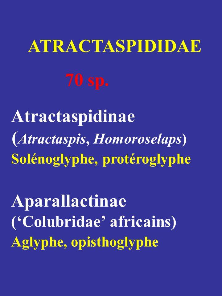 Atractaspis microlepidota Amblyodipsas polylepis
