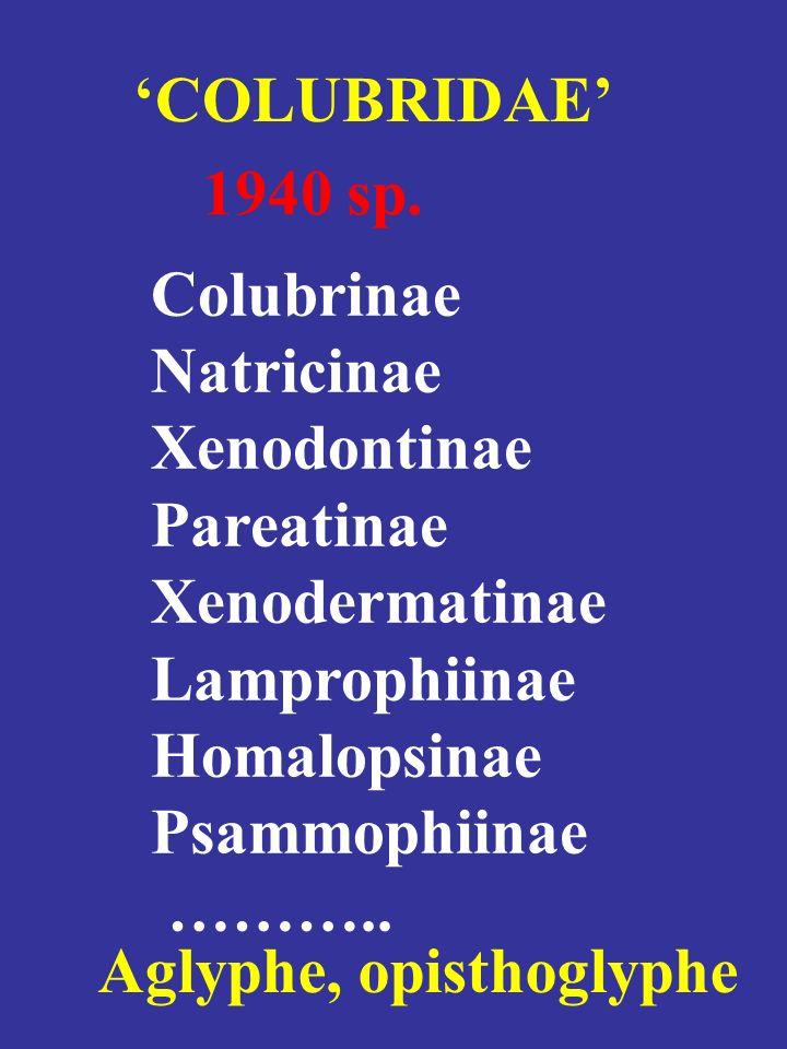 Colubrinae Natricinae Xenodontinae Pareatinae Xenodermatinae Lamprophiinae Homalopsinae Psammophiinae ……….. COLUBRIDAE 1940 sp. Aglyphe, opisthoglyphe