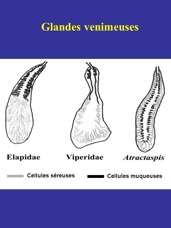 Glande de Duvernoy Homologue des glandes venimeuses Absente Mixte (séreuse + muqueuse) Séreuse # agrandissement des dents