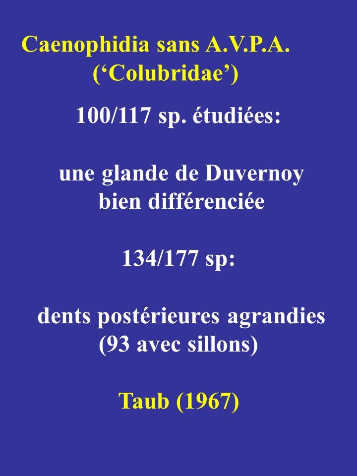 Caenophidia sans A.V.P.A. (Colubridae) 100/117 sp. étudiées: une glande de Duvernoy bien différenciée 134/177 sp: dents postérieures agrandies (93 ave
