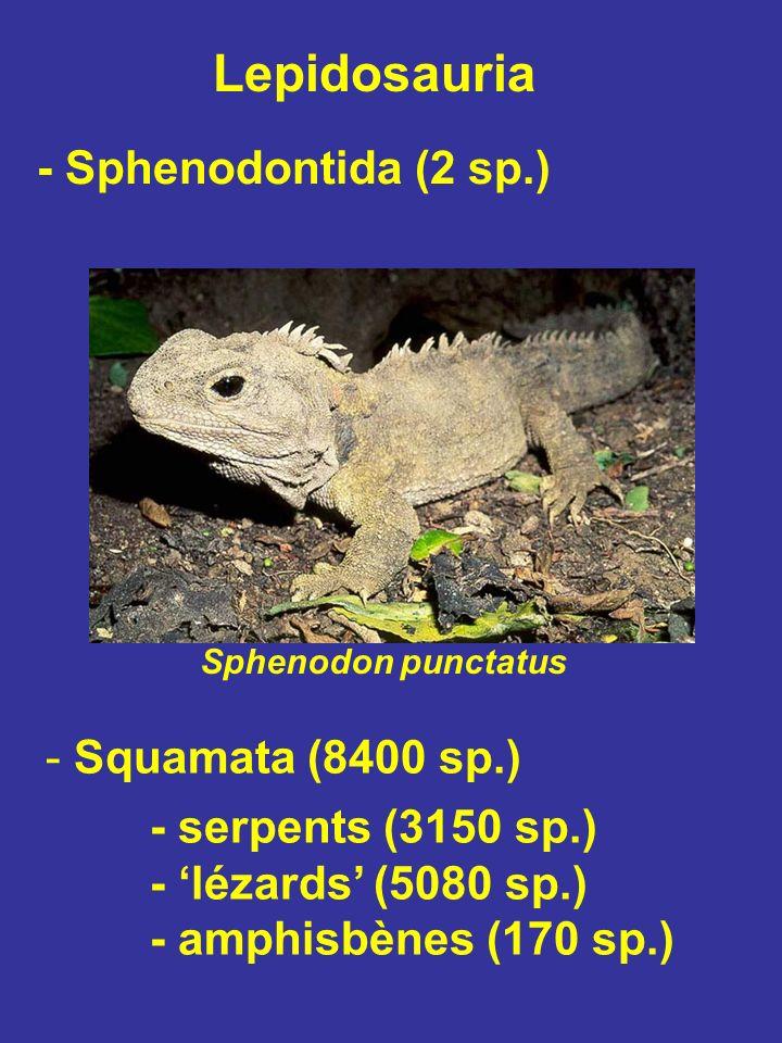 Lézards venimeux Helodermatidae (2 sp.) Heloderma suspectum Amérique du Nord et Centrale Glandes venimeuses mandibulaires => Venin apparu 2X chez les squamates