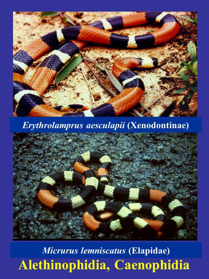 Alethinophidia, Caenophidia Oxybelis aeneus (Colubrinae) Xenoxybelis argenteus (Xenodontinae)