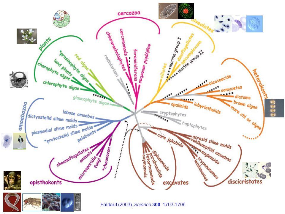 Baldauf (2003) Science 300: 1703-1706