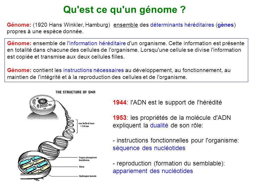 Qu'est ce qu'un génome ? Génome: (1920 Hans Winkler, Hamburg) ensemble des déterminants héréditaires (gènes) propres à une espèce donnée. 1944: l'ADN