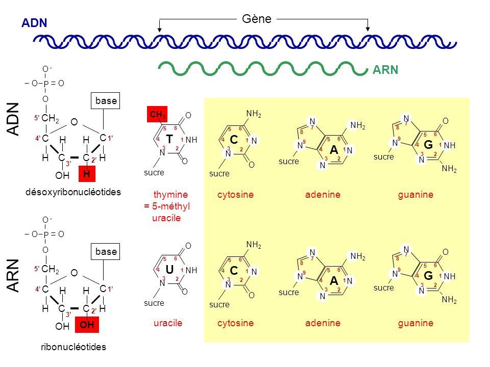 = 5-méthyl uracile ARN C CC C O OH H HH CH 2 P O - O O O base HH 1 2 3 4 5 C CC C O OH HH CH 2 P O - O O O base HH 1 2 3 4 5 ribonucléotides désoxyrib