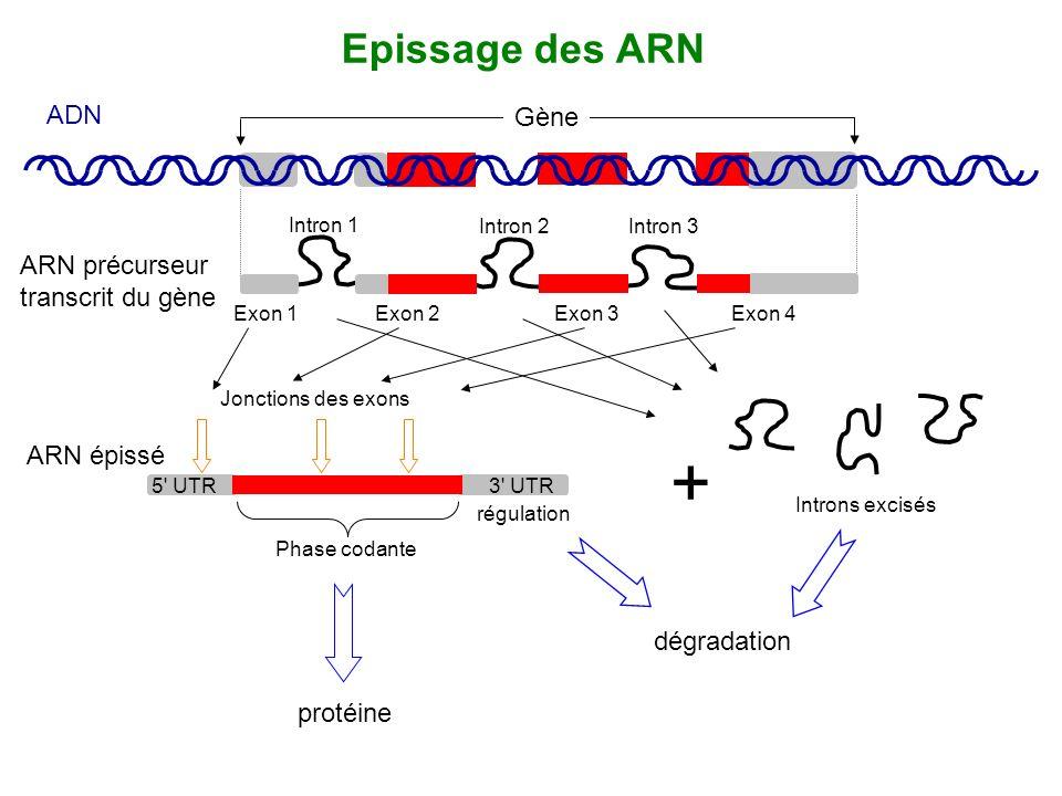 Gène ADN ARN précurseur transcrit du gène Intron 2Intron 3 Intron 1 Exon 1Exon 2Exon 3Exon 4 Epissage des ARN protéine dégradation + Introns excisés P