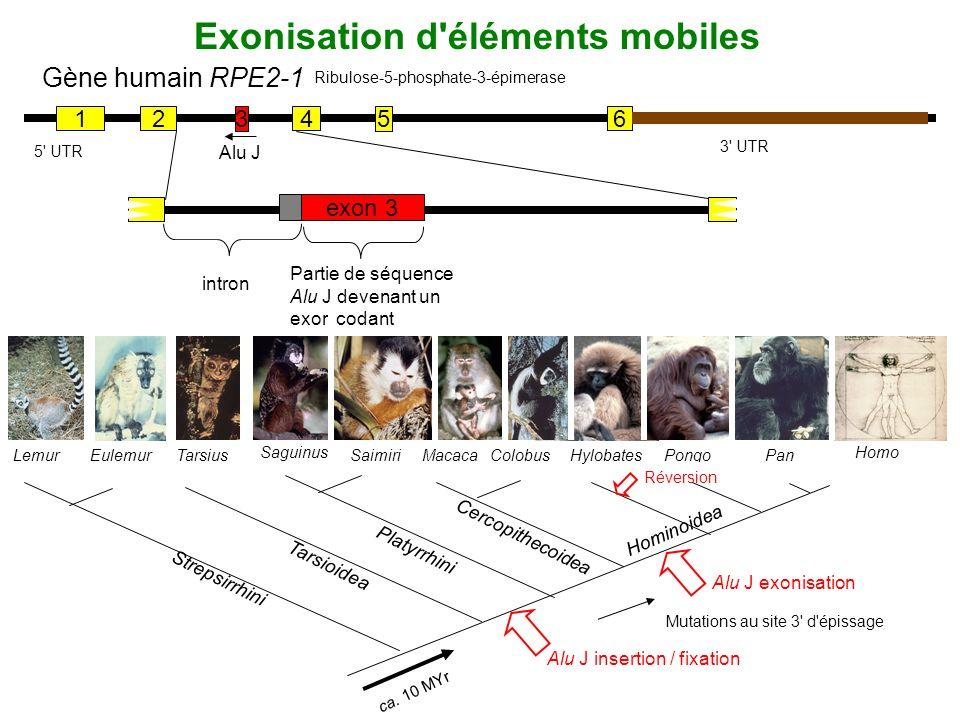 Exonisation d'éléments mobiles Gène humain RPE2-1 12 3 4 5 6 3' UTR 5' UTR Alu J exon 3 Partie de séquence Alu J devenant un exon codant intron Ribulo