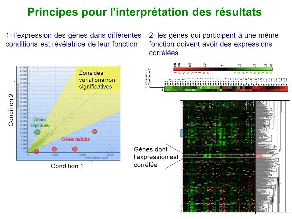 Principes pour l'interprétation des résultats 2- les gènes qui participent à une même fonction doivent avoir des expressions corrélées Gènes dont l'ex