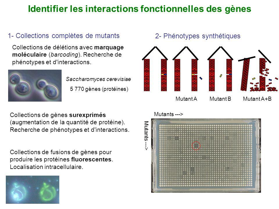 Saccharomyces cerevisiae 5 770 gènes (protéines) Collections de délétions avec marquage moléculaire (barcoding). Recherche de phénotypes et d'interact