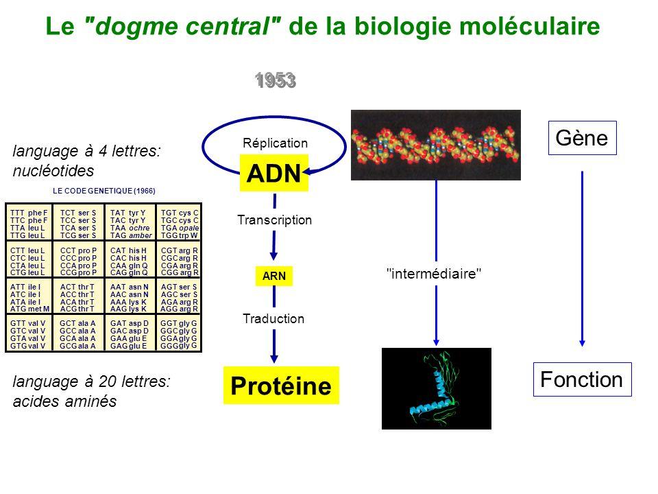 Le dogme central de la biologie moléculaire 1953 ARN Protéine Réplication Transcription Traduction ADN language à 4 lettres: nucléotides language à 20 lettres: acides aminés LE CODE GENETIQUE (1966) TTTphe FTCTser STATtyr YTGTcys C TTCphe FTCCser STACtyr YTGCcys C TTAleu LTCAser STAAochreTGAopale TTGleu LTCGser STAGamberTGGtrp W CTTleu LCCTpro PCAThis HCGTarg R CTCleu LCCCpro PCAChis HCGCarg R CTAleu LCCApro PCAAgln QCGA arg R CTGleu LCCGpro PCAGgln QCGG arg R ATTile IACTthr TAATasn NAGT ser S ATCile IACCthr TAACasn NAGC ser S ATAile IACAthr TAAAlys KAGA arg R ATGmet MACGthr TAAGlys KAGG arg R GTTval VGCTala AGATasp DGGTgly G GTCval VGCCala AGACasp DGGCgly G GTAval VGCAala AGAAglu EGGAgly G GTGval VGCGala AGAGglu EGGG gly G Gène Fonction intermédiaire