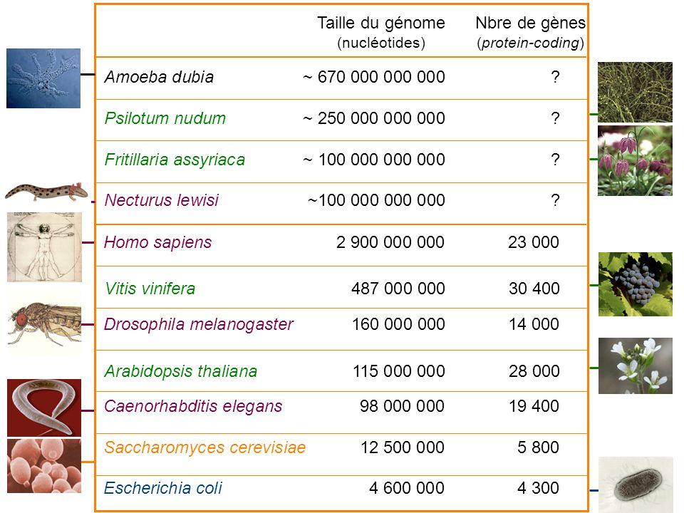 Homo sapiens2 900 000 00023 000 Drosophila melanogaster160 000 000 14 000 Caenorhabditis elegans98 000 00019 400 Saccharomyces cerevisiae12 500 0005 8
