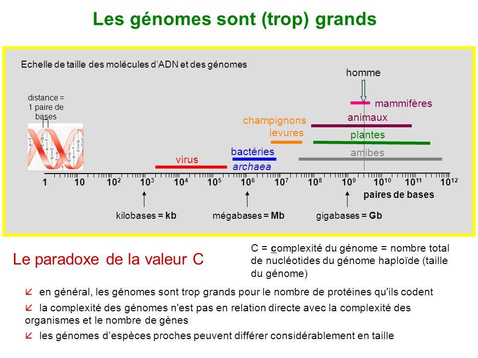 11010 2 10 3 10 4 10 5 10 6 10 7 10 8 10 9 kilobases = kbmégabases = Mbgigabases = Gb Echelle de taille des molécules dADN et des génomes paires de ba