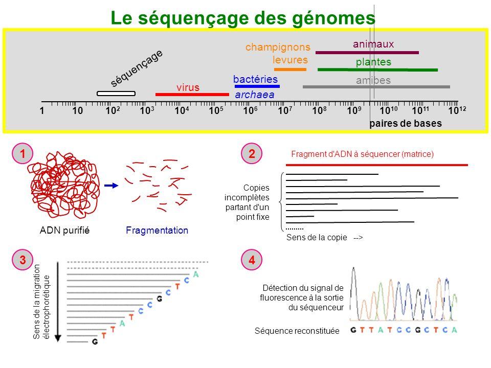 ADN purifié Fragmentation 1 Copies incomplètes partant d'un point fixe Sens de la copie --> Fragment d'ADN à séquencer (matrice) 2 Sens de la migratio