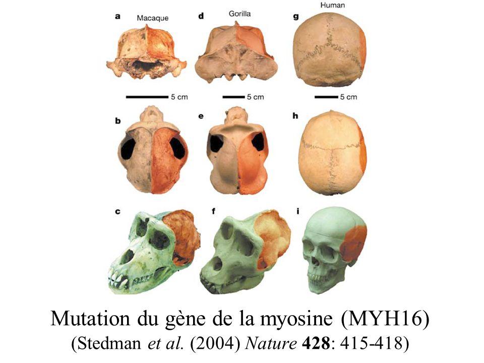 Mutation du gène de la myosine (MYH16) (Stedman et al. (2004) Nature 428: 415-418)
