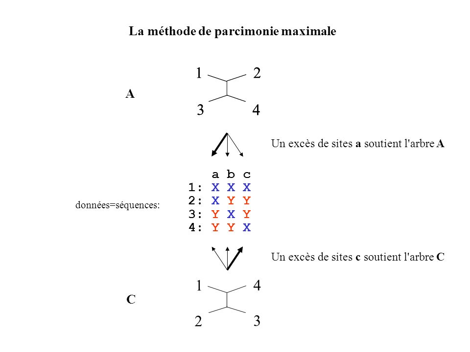 La méthode de parcimonie maximale 12 3 4 a b c 1: X X X 2: X Y Y 3: Y X Y 4: Y Y X données=séquences: 12 3 4 A 1 4 2 3 C Un excès de sites c soutient l arbre C Un excès de sites a soutient l arbre A